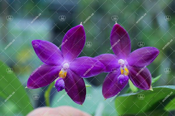 (Phalaenopsis tetraspis x speciosa) x violacea indigo