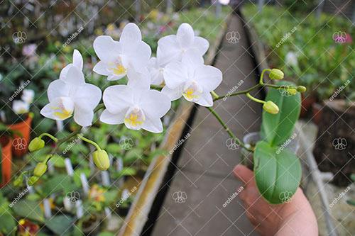 Phalaenopsis Timothy Christopher 'Joseph Wu'