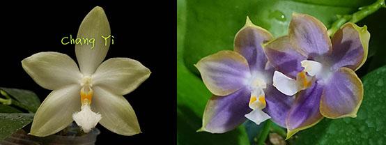 Phalaenopsis Tzu Chiang Tetralitz x Mituo Reflex Dragon
