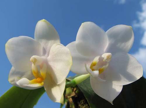 Phalaenopsis Tzu Chiang Chrisna (Phalaenopsis Timothy Christopher x Phalaenopsis Yungho Geld Canary)