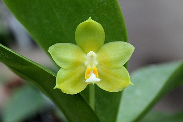 Phalaenopsis (Tzu Chiang Litlitz-micholtzii) '#1' x Joy Dreamy Jade '#7'