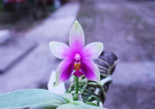 Phalaenopsis violacea 'Borneo'