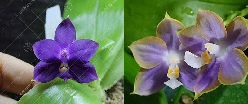 Phalaenopsis violacea indigo x Mituo Reflex Dragon 'Blue #2' AM/AOS