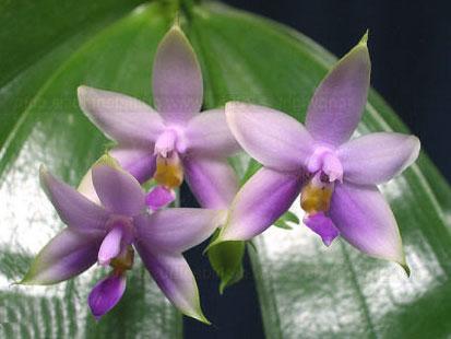 Phalaenopsis violacea var coerulea
