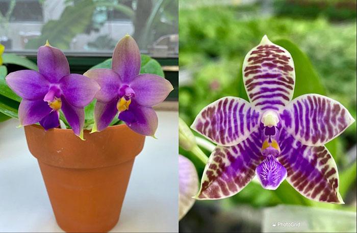 Phalaenopsis (YangYang Blue Liuli x lueddemanniana coerulea)