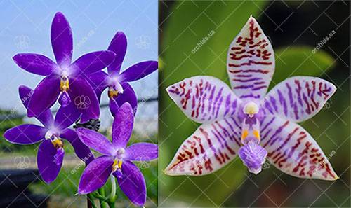 Phalaenopsis (YangYang Blueberry x lueddemannian fma coerulea)
