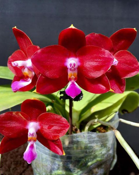 Phalaenopsis Yaphon Pepper (Zheng Min Jacaranda x LD Bear King)