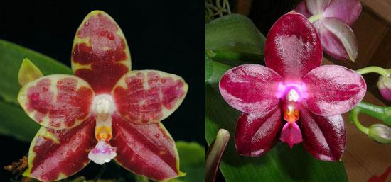 Phalaenopsis Yaphon Sir 'Yaphon #2' x Zheng Min Jacaranda 'Peter'