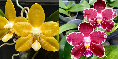 Phalaenopsis (Yaphon Yellow Bloom x KS Super Zebra)