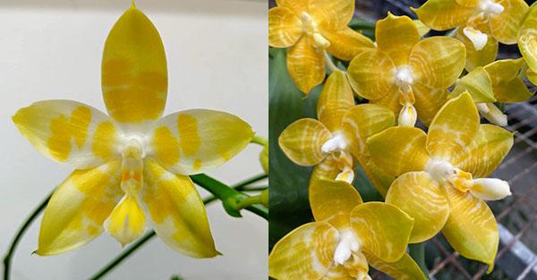 Phalaenopsis Yaphon 'Yellow Story' x Nobby's 'Doctor Chu'