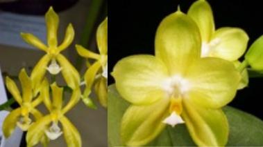 Phalaenopsis Yin's Cricket x Chang Maw Evergreen