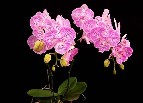 Phalaenopsis (Yu Pin Fire Work 'Big Lip' x Tai LiN Redangel 'V31') Big Lip