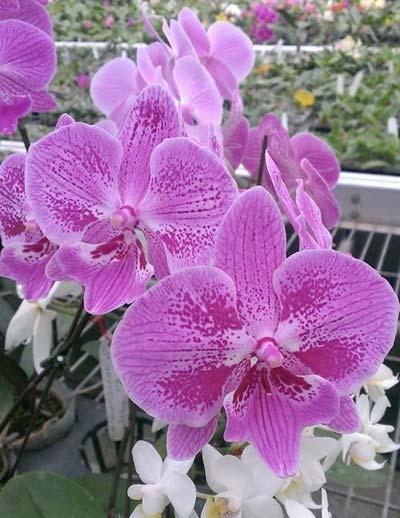 Phalaenopsis Yu Pin Fire Works 'Big Lip' x OX Firebird