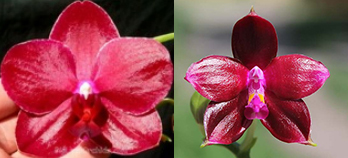 Phalaenopsis Yuda Red Blood x Chingruey's Fancy