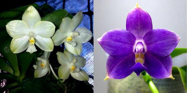 Phalaenopsis Yungho Gelblitz x violacea indigo