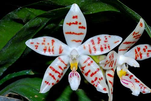 Phalaenopsis zebrina 'Palawan'
