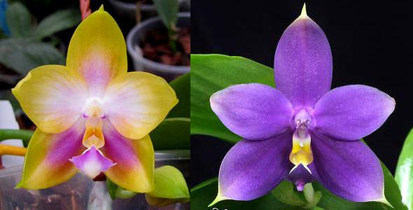 Phalaenopsis Zeng Min Muscadine x violacea indigo