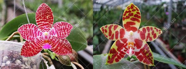 Phalaenopsis Zuma Jo (Joey 'Yin#1' x amboinensis 'Nicole')