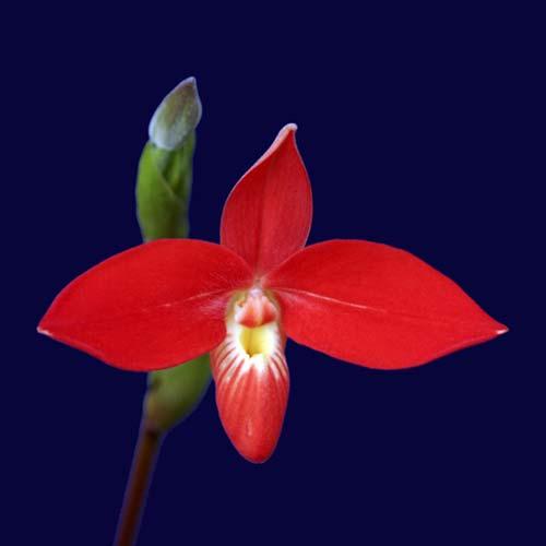 Phragmipedium besseae