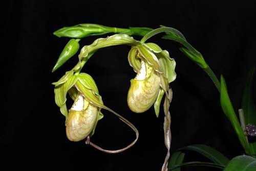 Phragmipedium Memoria Garren Weaver (pearcei x wallisii)