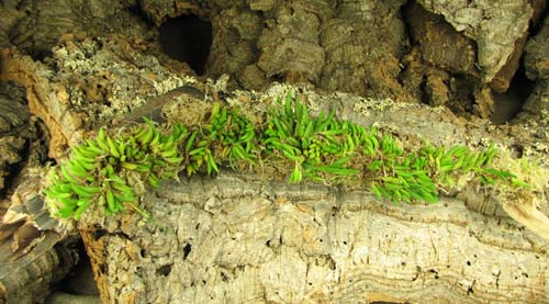 Pleurothallis leptotifolia (clump)