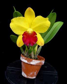 Potinara Little Toshie 'Yellow Rose' (#37) ( Cattleya Beaufort x Rhyncholaeliocattleya Toshie Aoki)