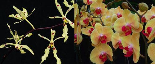Renanthera citrina x Phalaenopsis Shin Yuan Golden Beauty