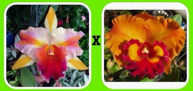 Rhyncholaeliocattleya Amazing Tailand x Yen 24 Carat