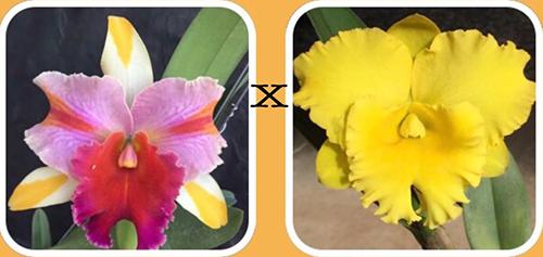 Rhyncholaeliocattleya Amazing Thailand x Thong Suparn 'Pure Yellow'