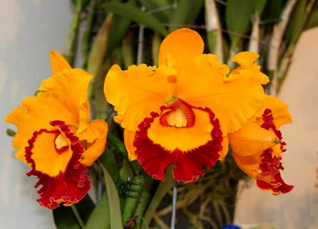 Rhyncholaeliocattleya Chief Sunlight 'Yellow Ruby'