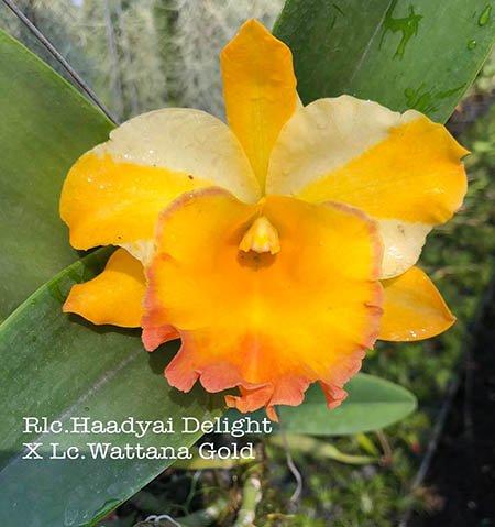Rhyncholaeliocattleya Haadyai Delight x Cattleya Wattana Gold