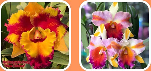 Rhyncholaeliocattleya Rungnapha Fancy 'Warm Welcome' x Amazing Thailand 'Ranbow'