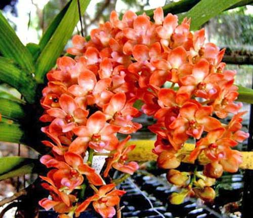 Rhynchostylis gigantea Orange