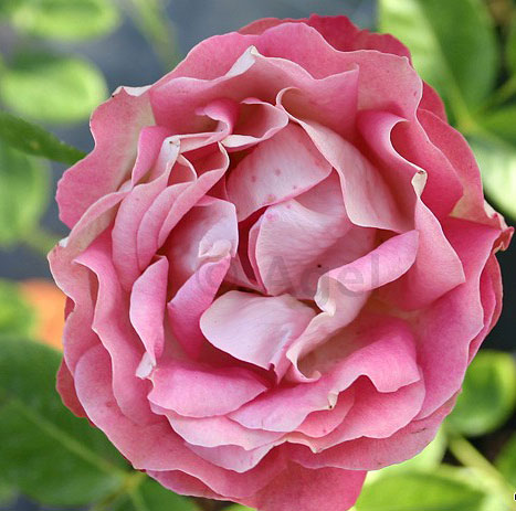 Rose Acropolis