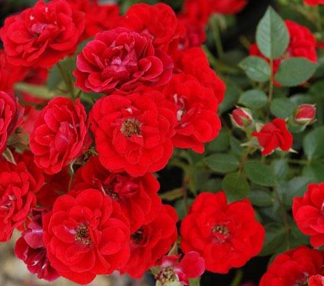 Rose Intense Cover