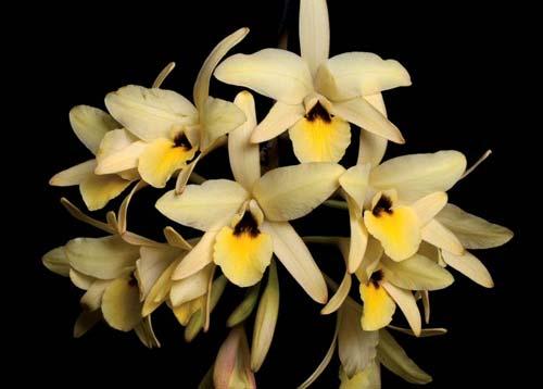 Любимые мексиканские орхидеи