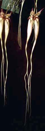 Бульбофиллумы. Гибриды бульбофиллумов, отмеченные международными наградами.