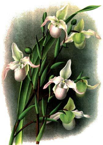Phragmipedium Sedenii. Происхождение и первое описание превосходного гибрида.