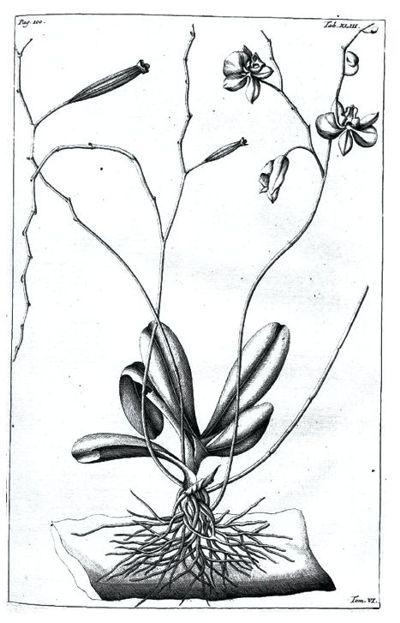Phalaenopsis amabilis. История открытия. Часть 1.