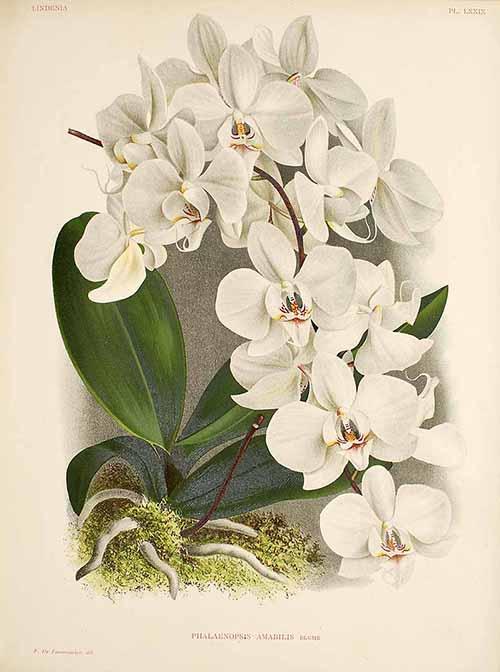 Phalaenopsis amabilis. История открытия. Часть 2.