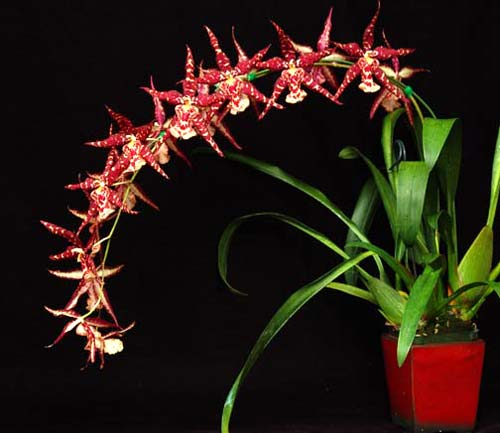Sanderara Black Star 'Pacific Red Star'
