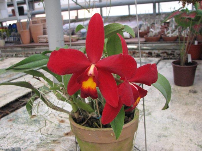 Sophrocattleya Wendy's Redstone 'Precious'