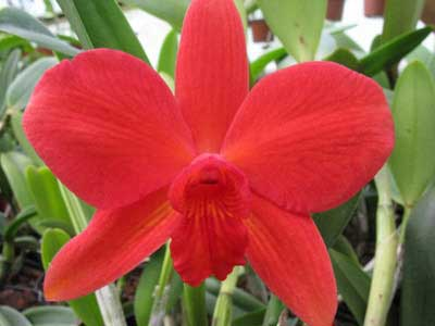 Sophrolaeliocattleya Fire Lighter 'Janet'