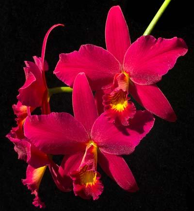 Sophrolaeliocattleya Hsin Buu Lady 'Red Beauty' (Laelia anceps x Sophrolaeliocattleya Wendy's Valentine)