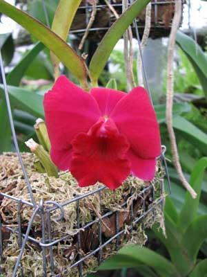 Sophrolaeliocattleya Pink Doll 'Garnet Sea'