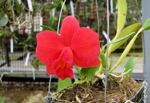 Sophrolaeliocattleya Pink Doll 'Garnet Sea' (Slc. Tangerine Jewel x L. pumila)