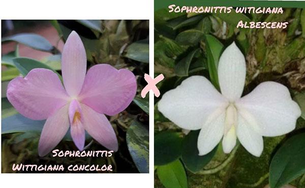 Sophronitis wittigiana concolor x albescens