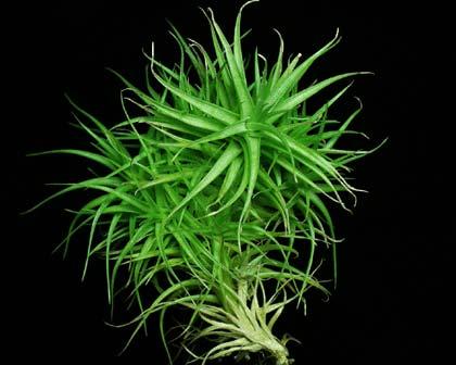 Tillandsia aeranthos (large)