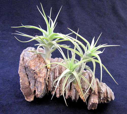 Tillandsia bergeri (small form)