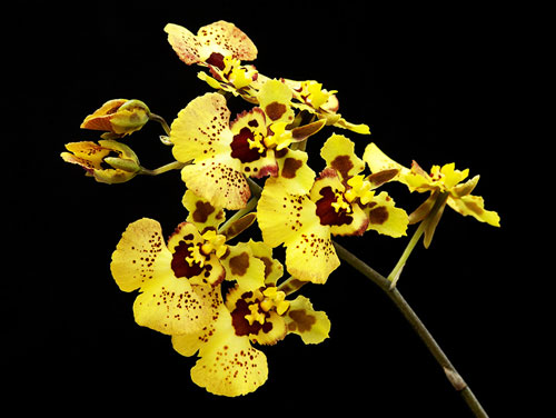 Tolumnia Jairak Rainbow 'Yellow'
